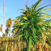 Cannabis VS Hemp: CBD as an Option for Health