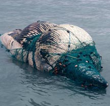 Whale Entangled in Nets Finds a Horrible Ending
