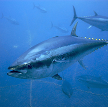 Tuna Species are Endangered from Industrial & Rogue Fisherman