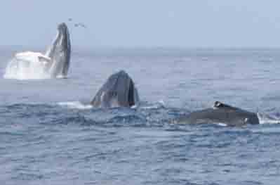 Humpback Whales feeding on forage fish on Stellwagen Bank National Marine Sanctuary