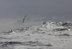 Fulmar flying in Force 7 seas.